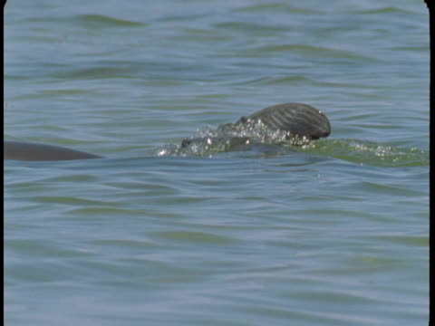 A dolphin swims at the surface of the water.