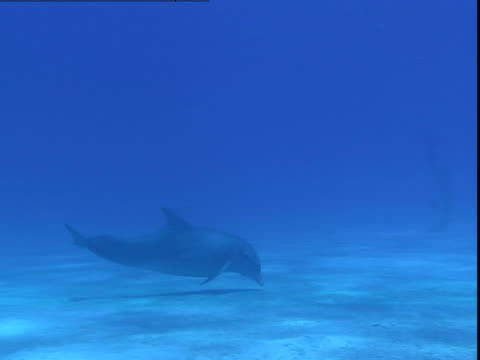 a dolphin swims just above the ocean floor. - cetacea stock videos & royalty-free footage