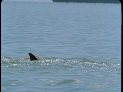 a dolphin swims near the surface of the water, exposing its dorsal fin. - dorsal fin stock videos & royalty-free footage