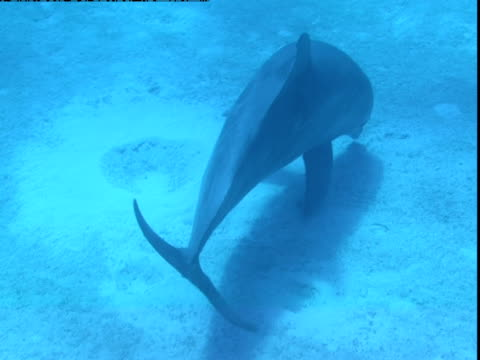 vídeos de stock e filmes b-roll de a dolphin swims over the sea floor in search of food in the bahamas. - nariz de animal