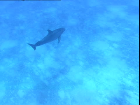 a dolphin swims over the sun dappled seabed of the bahamas. - cetacea stock videos & royalty-free footage