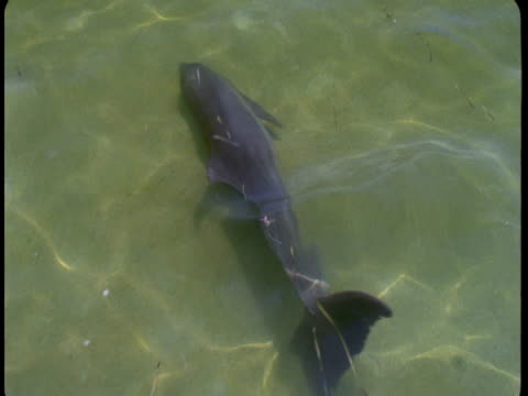 a dolphin swims through shallow, sun-dappled water. - cetacea stock videos & royalty-free footage