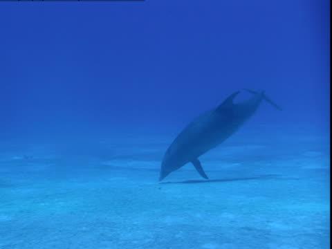 vídeos de stock e filmes b-roll de a dolphin twirls above a sandy seabed and then ascends toward the surface. - vir à superfície