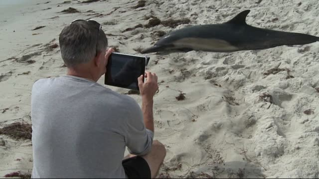 a dolphin washed up on a la jolla beach eventually dying beachgoers tried numerous times to save the animal but the dolphin continued to beach itself... - cetacea stock videos & royalty-free footage