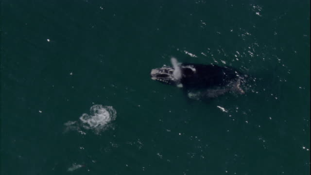Dolphins and a southern right whale swim near the surface of the ocean. Available in HD.