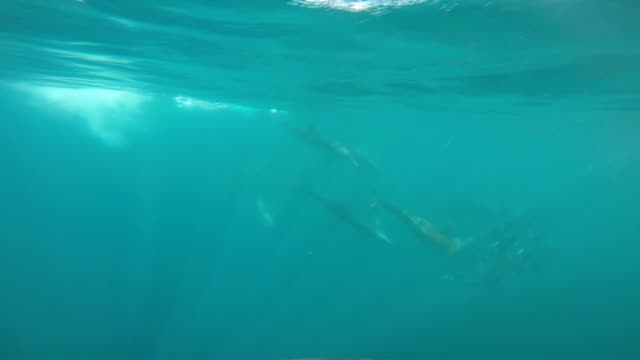 dolphins and cormorant feeding on sardines - common dolphin stock videos & royalty-free footage