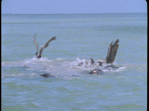 Dolphins and pelicans vie for small fish at the surface of the water.