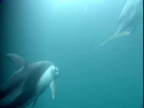dolphins ascend to the surface of the water, then dive back down - cetacea stock videos & royalty-free footage