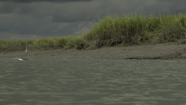 dolphins briefly surface along a coastline where cranes forage under low clouds. - cetacea video stock e b–roll