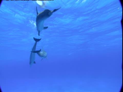 vídeos y material grabado en eventos de stock de dolphins chase each other through the water of the bahamas. - cetáceo