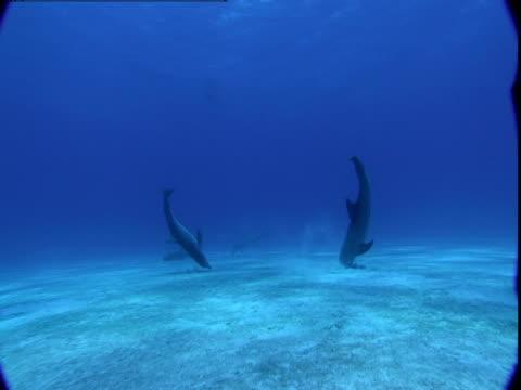 dolphins dig their snouts into the sandy ocean floor. - cetacea stock videos & royalty-free footage
