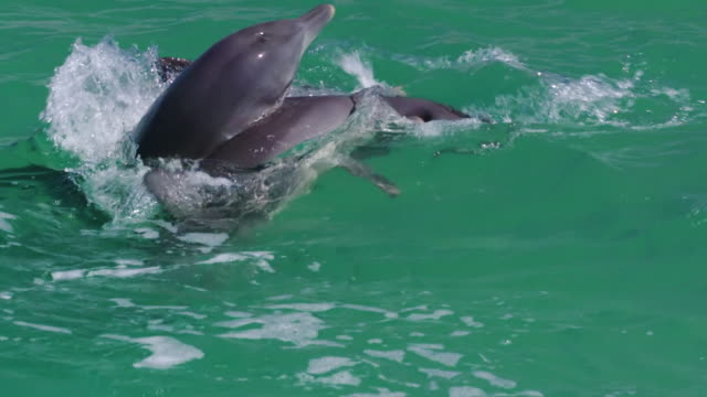dolphins doing spiral motion in the water - cetacea stock videos & royalty-free footage
