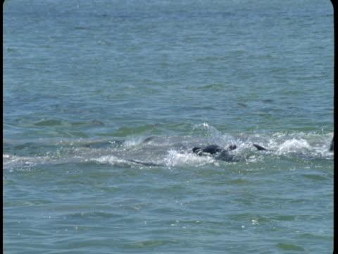 vidéos et rushes de dolphins feed at the surface of the ocean. - cétacé