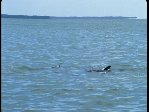 Dolphins feed at the surface of the water.