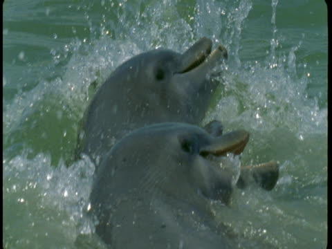 dolphins feed at the surface of the water. - rückenflosse stock-videos und b-roll-filmmaterial