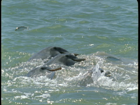 dolphins feed on fish leaping from churning waters. - bottle nosed dolphin stock videos & royalty-free footage
