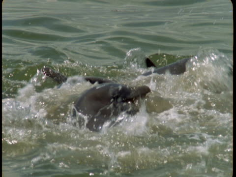 Dolphins feed on fish that leap from the water.