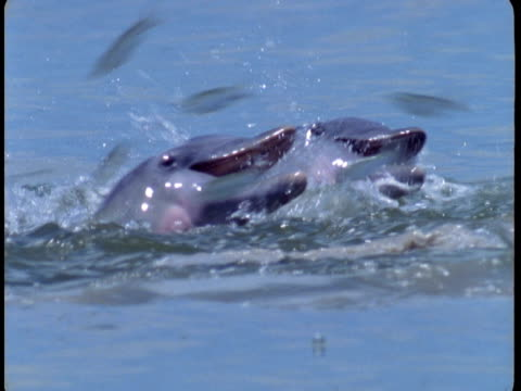 Dolphins feed on leaping fish off the coast of Florida.