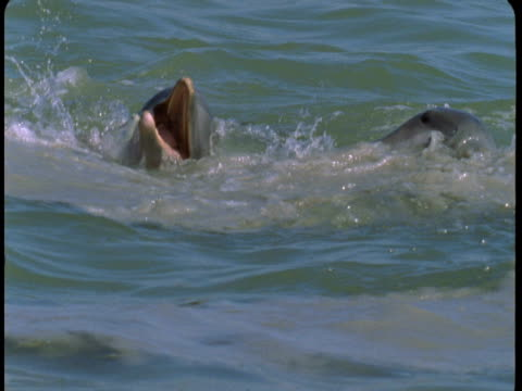 dolphins feed on small fish that leap from the water. - cetacea stock videos & royalty-free footage