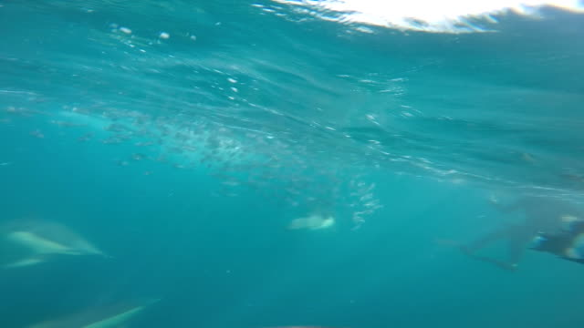 stockvideo's en b-roll-footage met dolphins feeding on sardines - duurzaam toerisme