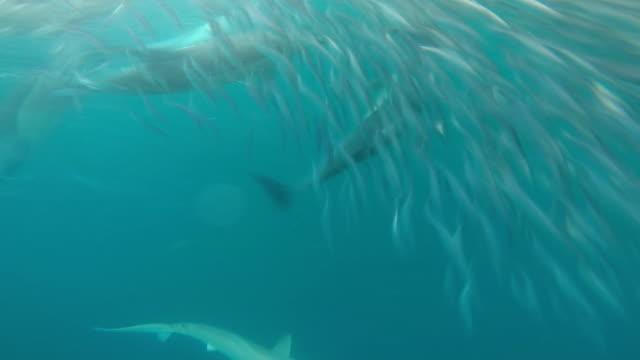Dolphins Feeding On Sardines