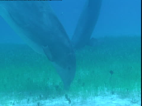 dolphins forage along a sandy, grassy seabed. - cetacea stock videos & royalty-free footage