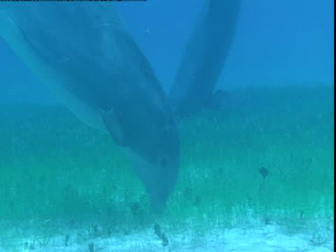 vídeos y material grabado en eventos de stock de dolphins forage along a sandy, grassy seabed. - cetáceo