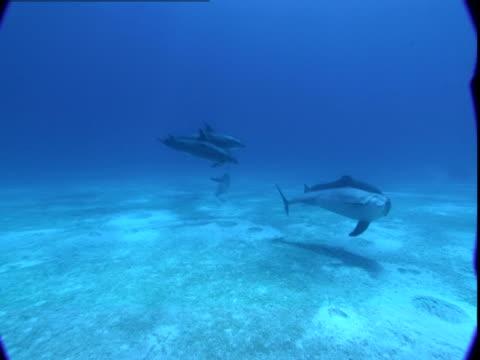 vidéos et rushes de dolphins glide along a sandy ocean floor where they search for food. - dauphin tacheté