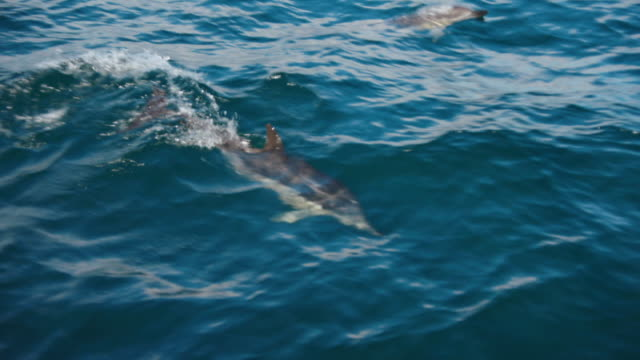 dolphins glide through the sea in the strait of gibraltar - railing stock videos & royalty-free footage