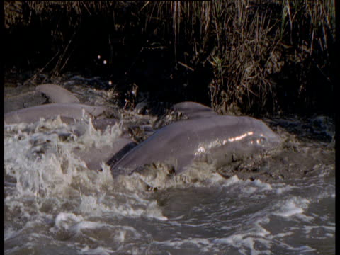 Dolphins herd fish into shallow water, South Carolina