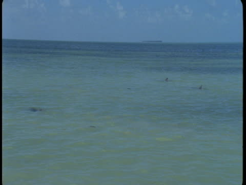 dolphins hunt in shallow waters. - rückenflosse stock-videos und b-roll-filmmaterial
