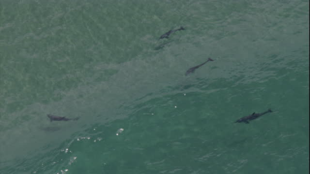 Dolphins hunt near a bait ball as waves surge over them. Available in HD.