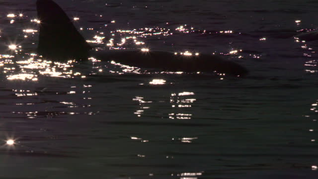 dolphins in australian water during sunset. - cetacea stock videos & royalty-free footage