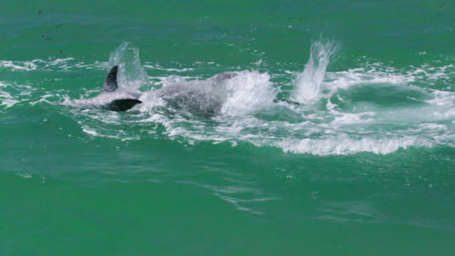 dolphins making splashes - cetacea stock videos & royalty-free footage