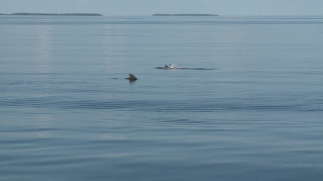 stockvideo's en b-roll-footage met dolphins near surface on calm waters, the maldives - rugvin