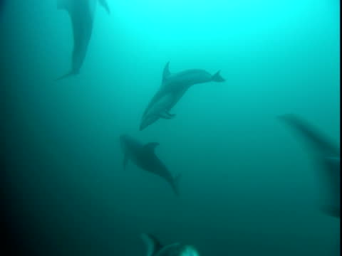 dolphins play in telegraph cove. - cetacea stock videos & royalty-free footage