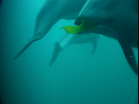 Dolphins play with a banner of seaweed.