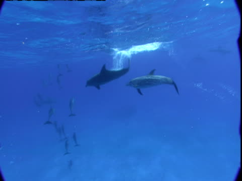 vídeos de stock e filmes b-roll de dolphins playfully chase each other to the surface in the waters off the bahamas. - golfinho pintado pantropical