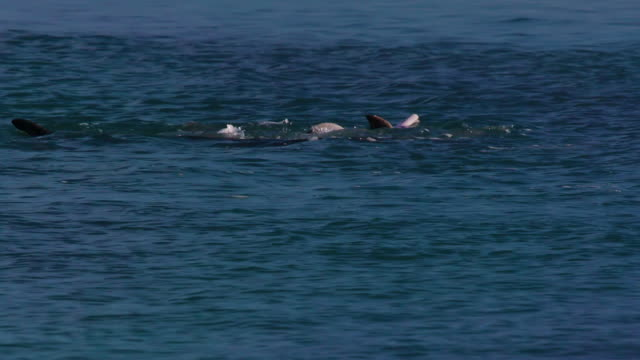 dolphins playing around - cetacea stock videos & royalty-free footage