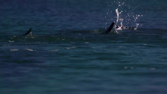 dolphins playing underwater - bottle nosed dolphin stock videos & royalty-free footage