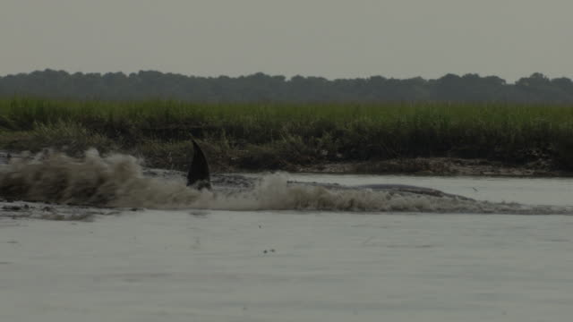 dolphins race into shallow water along a beach to feed. - cetacea video stock e b–roll