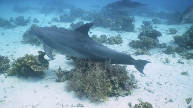 dolphins rubbing on gorgonian (soft) coral - bottle nosed dolphin stock videos & royalty-free footage