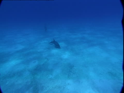 dolphins search for food on a sandy seabed. - cetacea stock videos & royalty-free footage