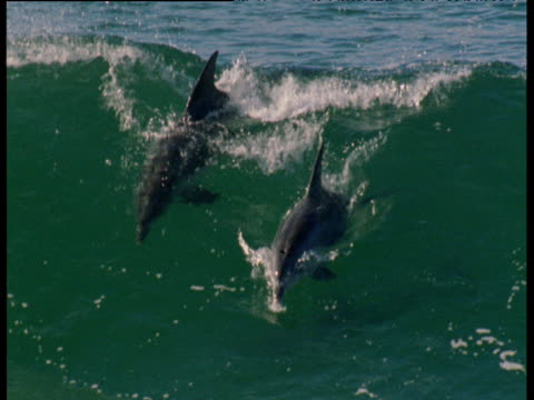dolphins surf in waves - tursiope video stock e b–roll