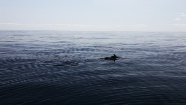 Dolphins swim at surface of Sargasso Sea, wide