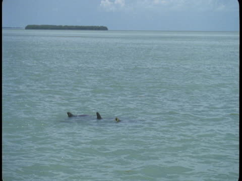 vidéos et rushes de dolphins swim at the surface of the water, exposing their dorsal fins. - groupe de mammifères marins