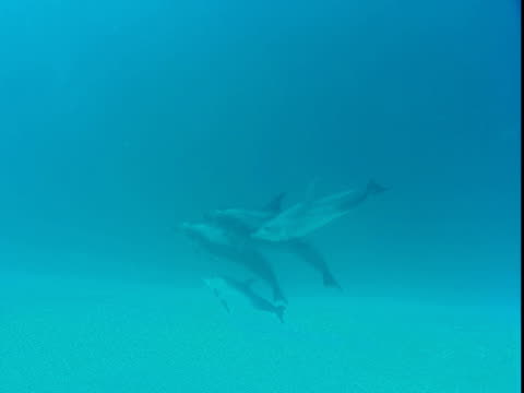 vidéos et rushes de dolphins swim close together near the seabed. - groupe de mammifères marins