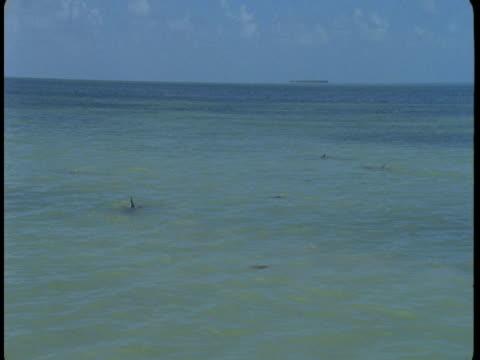 vidéos et rushes de dolphins swim in shallow water. - cétacé