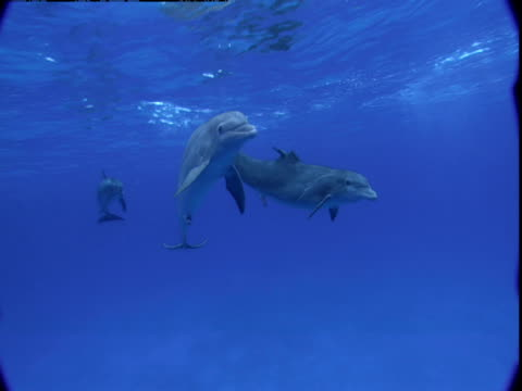 dolphins swim near the surface of the water. - tierpenis stock-videos und b-roll-filmmaterial