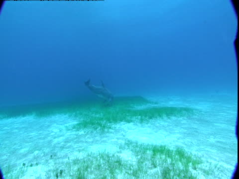 vídeos de stock e filmes b-roll de dolphins swim near the water's surface, then dive to a sandy seabed. - cetáceo